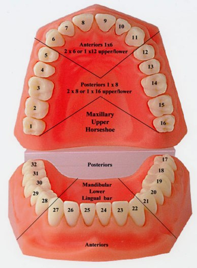 tooth diagram with tooth numbers