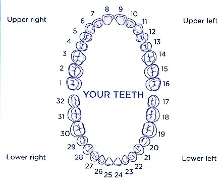 Illustration of tooth numbers left to right