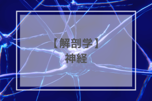 解剖学:神経