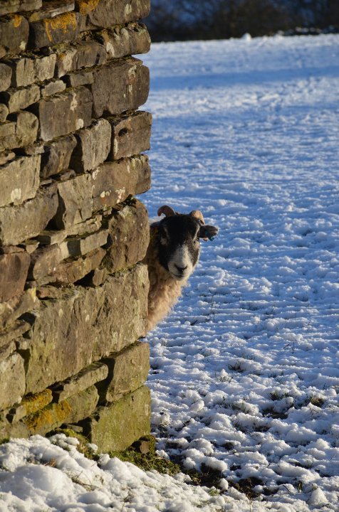 Cheeky Sheep