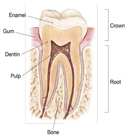Tooth diagram revealing the outer and inner layers of a tooth