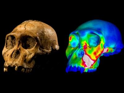 Australopithecus sediba specimen MH1