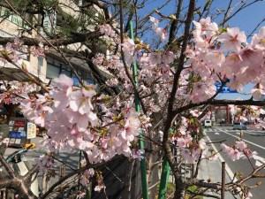早咲き玉縄桜