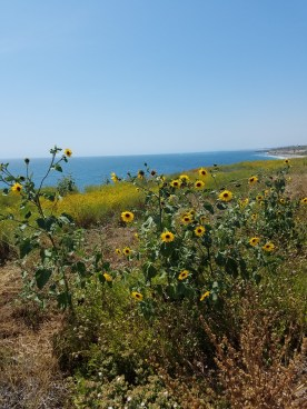 Sunflowers Along Bike Path