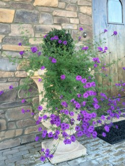 Verbena and Boxwood in Large Pot