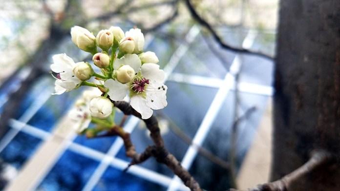 FloweringTree-1-20170324_161936-800