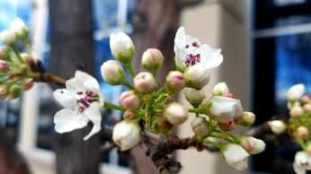 floweringtree-2-800-20170324_162058