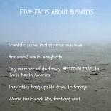 Bushtit facts17