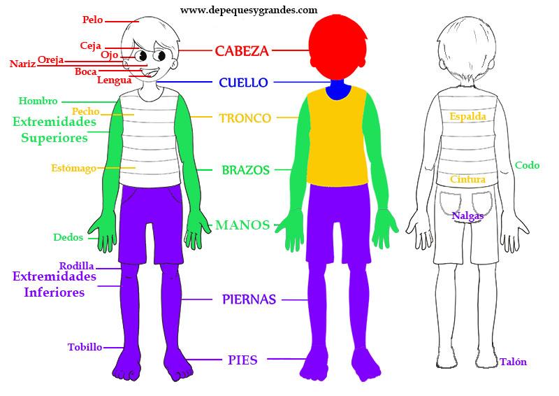lámina partes del cuerpo en español
