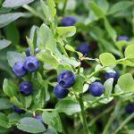 aigüestortes arandano vaccinium myrtillus blueberry