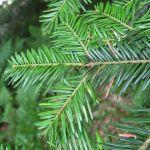 abeto abies alba silver fir