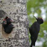 pito negro dryicipus martius black woodpecker