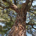 Alcornoque Orto botanico fi quercus suber ficus alcornoque natural verde bosque marisma Parque Nacional Doñana