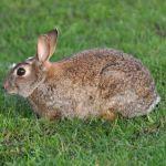 Conejo de campo Oryctolagus cuniculus Parque Nacional Doñana