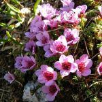 saxifraga purpura saxifraga oppositifolia saxifrage