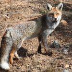 Zorro Vulpes vulpes Parque Nacional Doñana