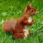 aigüestortes ardilla roja sciurus vulgaris red squirrel