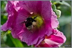 tuin_hvh_vlinderstruik_vlinders_hommels__167 (Kopie)