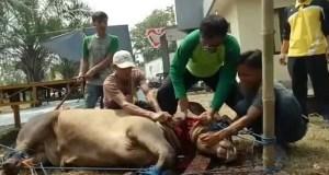 Ketua DPD Partai Golkar Kota Depok,  Farabi A. Rafiq memotong langsung 5  ekor sapi kurban Partai Golkar.