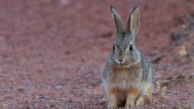 FEDEXCAZA recomienda a las sociedades locales no cazar liebres esta temporada