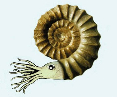 Fig. 1b. The Ammonite.