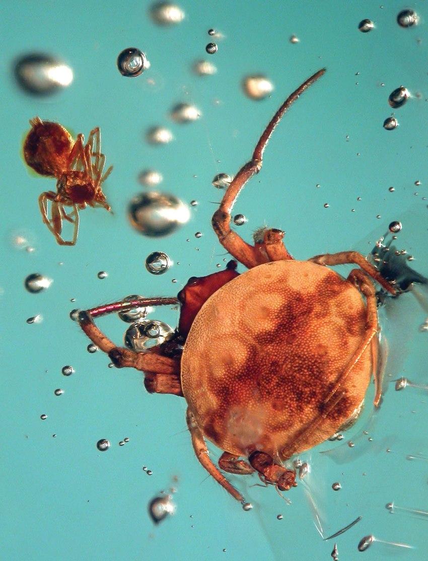 orb web Spider Columbian copal