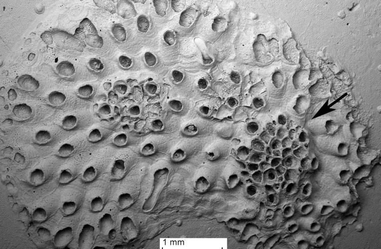 Bryozoans in the English Chalk