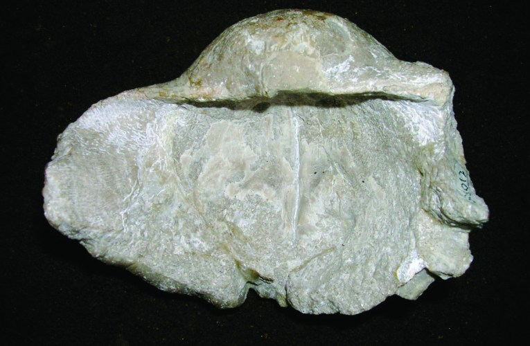On the trail of giant brachiopods: Gigantoproductus