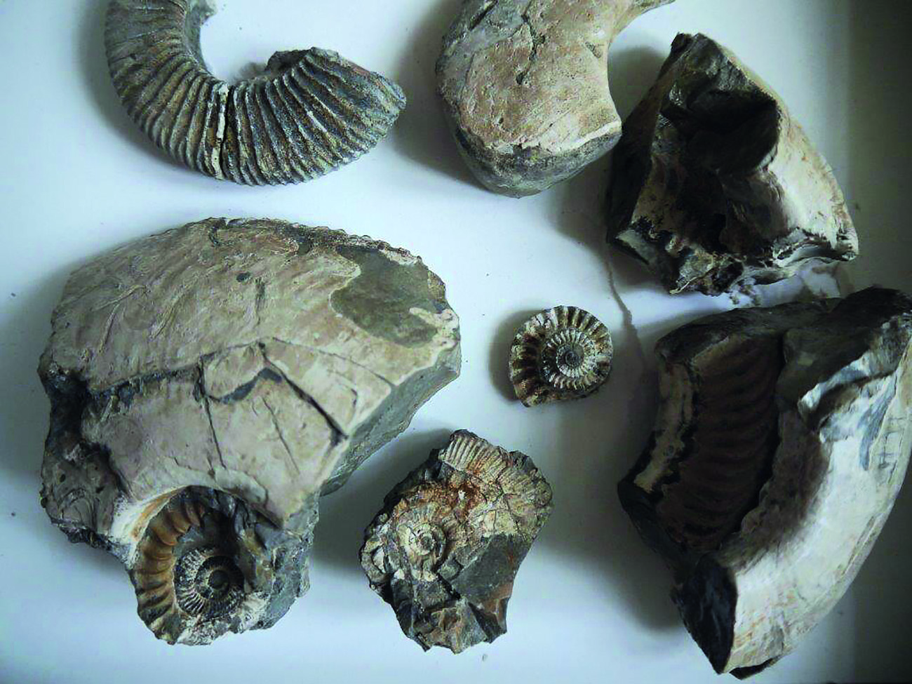 Ammonites of the Ampthill Clay, Lincolnshire
