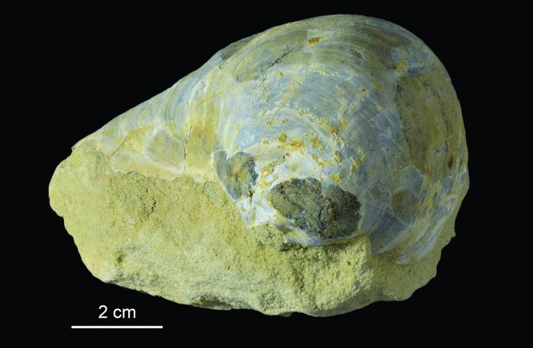 "The ""thick-shelled mussel"" Pycnodonte (Phygraea) vesiculare: Germany's ""Fossil of the Year"" 2017"