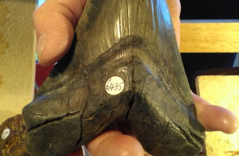 Check those damaged 'Megalodon' teeth