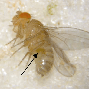 Virgin female showing the meconium (arrow). The meconium is a dark green area and is the remains of larval food