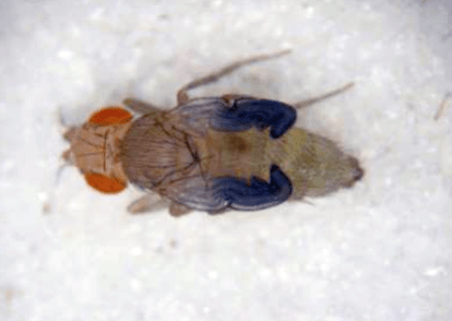"A newly eclosed female. This is the ""wet"" stage where the fly is sticky to the touch.   The wings and body have a wet appearance."