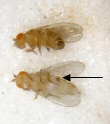 Comparison between a mature (top) and virgin (bottom) female. This is not long after eclosure; after  4+ hours it becomes more difficult to tell the difference between the two. Note the meconium on the virgin female.