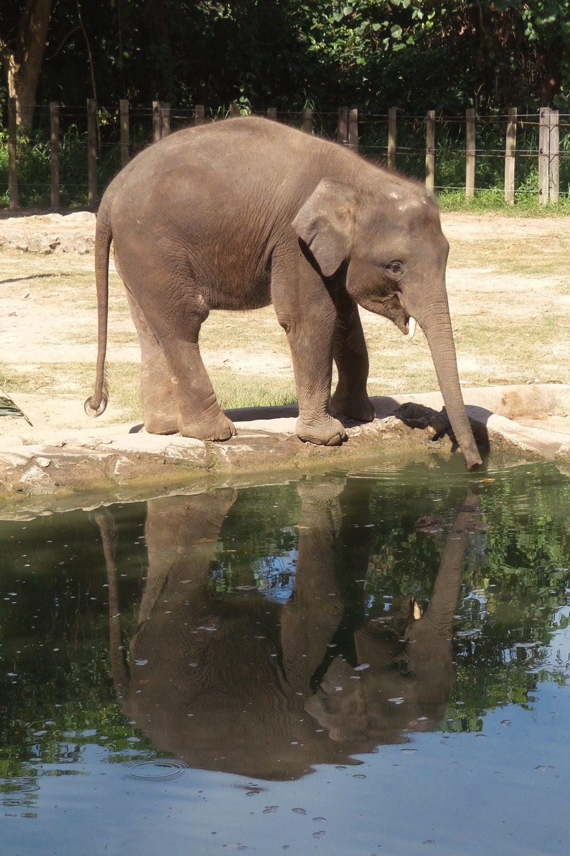 Cría de elefante pigmeo de Borneo