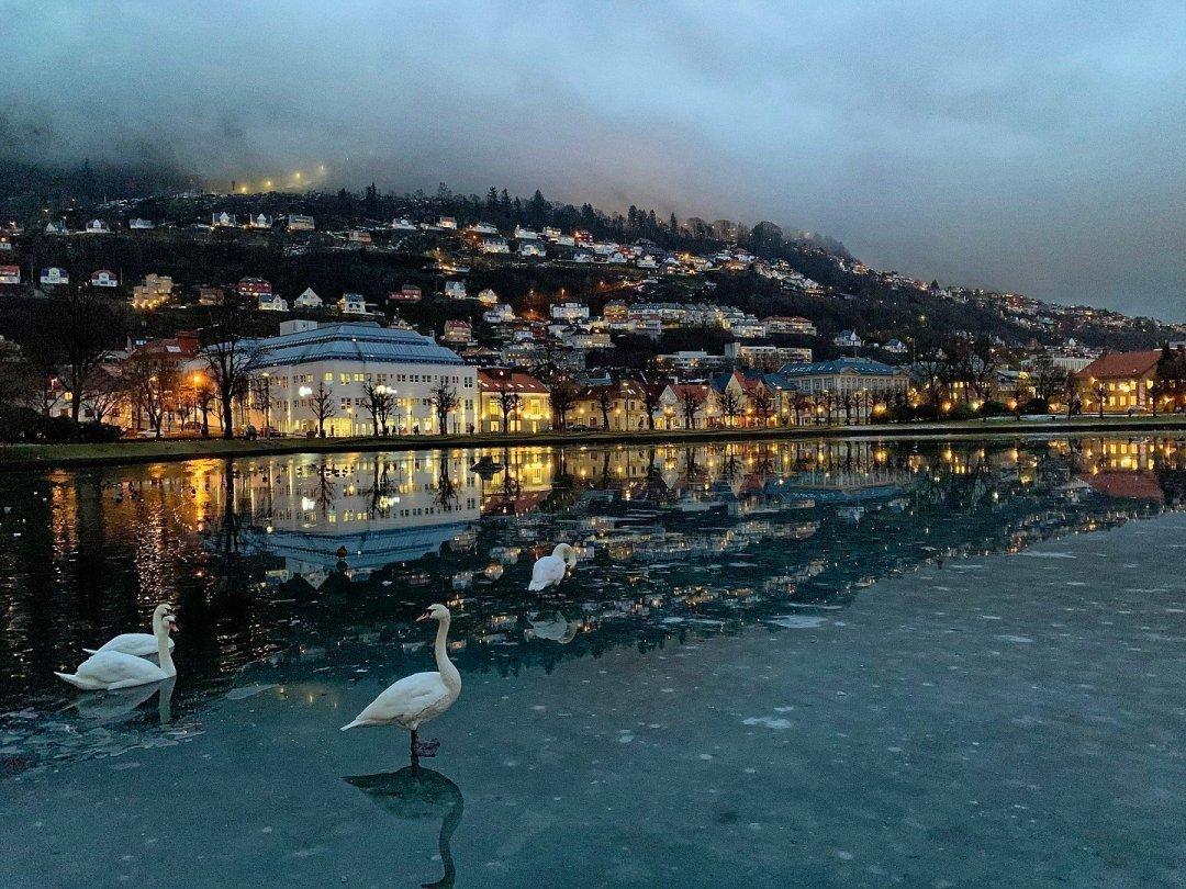 Cisnes en el Lille Lungegårdsvannet