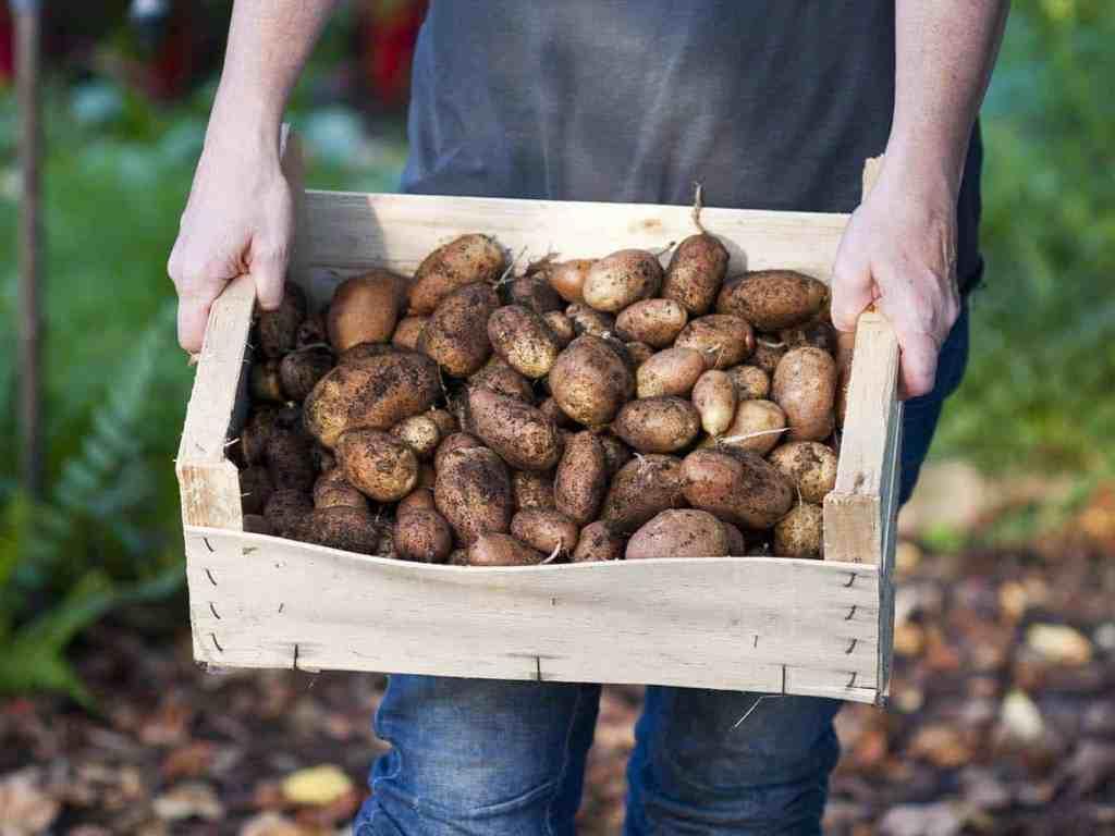 kartoffeln in kiste