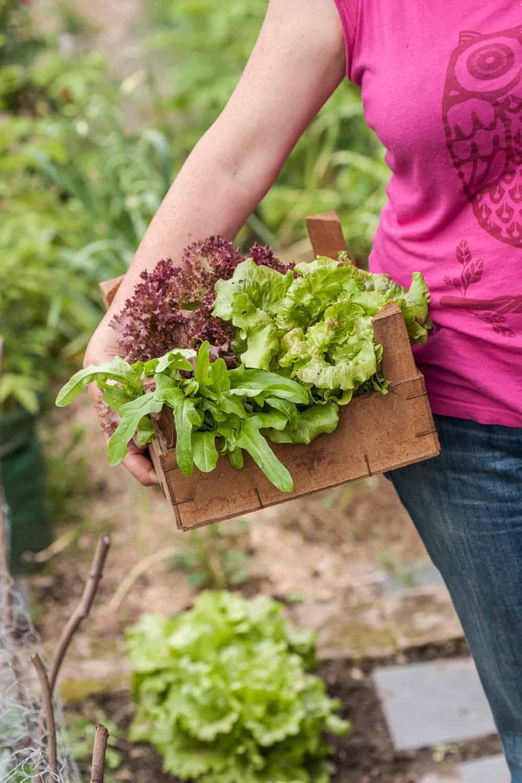 Rund Ums Jahr Eigenen Salat Ernten - Erprobter Anbauplan Frische Salate Eigenen Garten Ernten