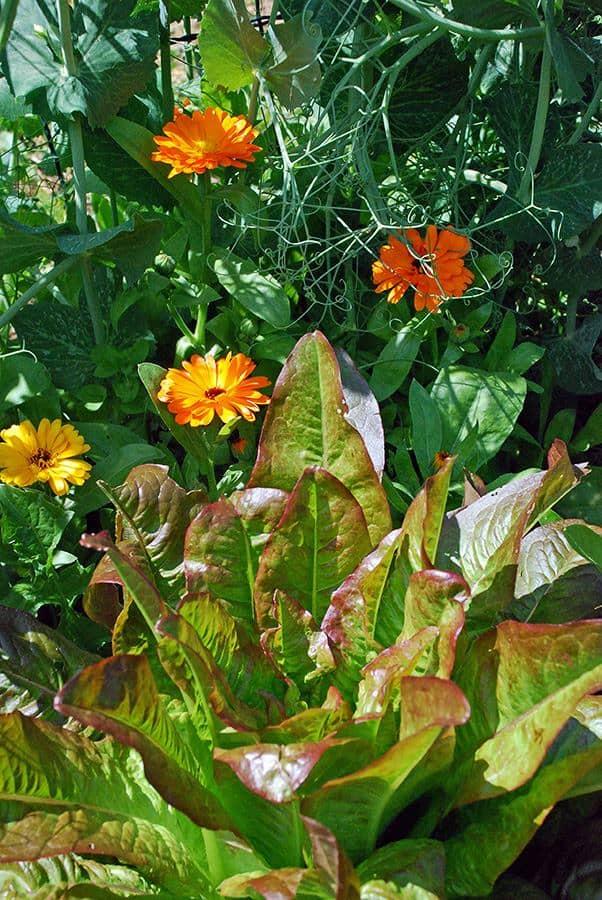 Salat im Freigarten