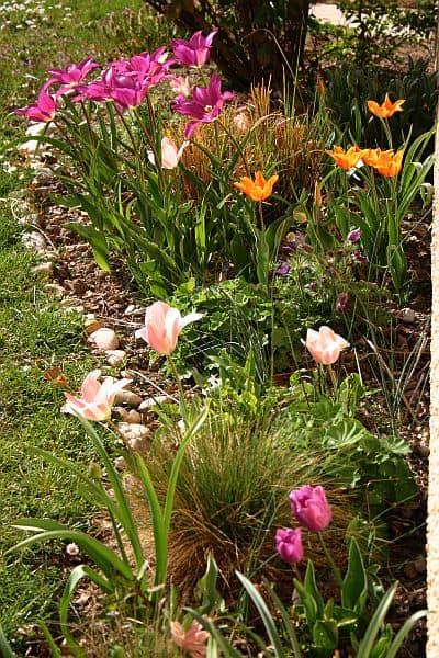 Tulpen im März