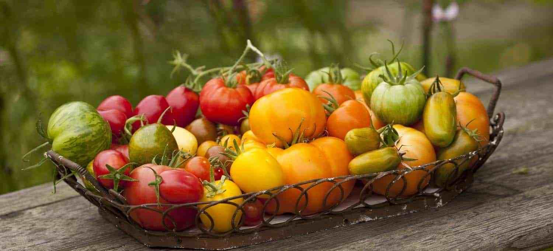 tomatenernte