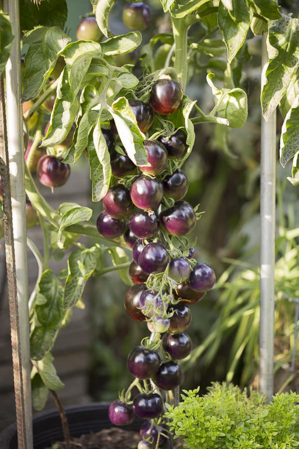 schwarze Tomaten, Purple Rose