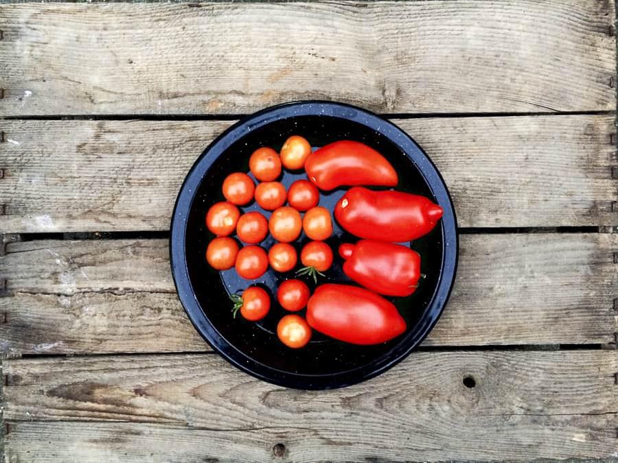 tomatenernte im september