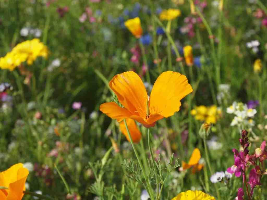 wildblumenwiese anlegen