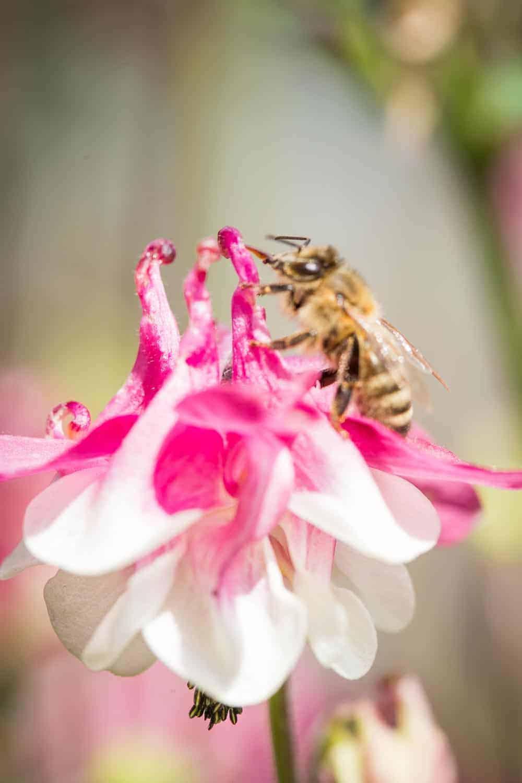 akelei mit Biene