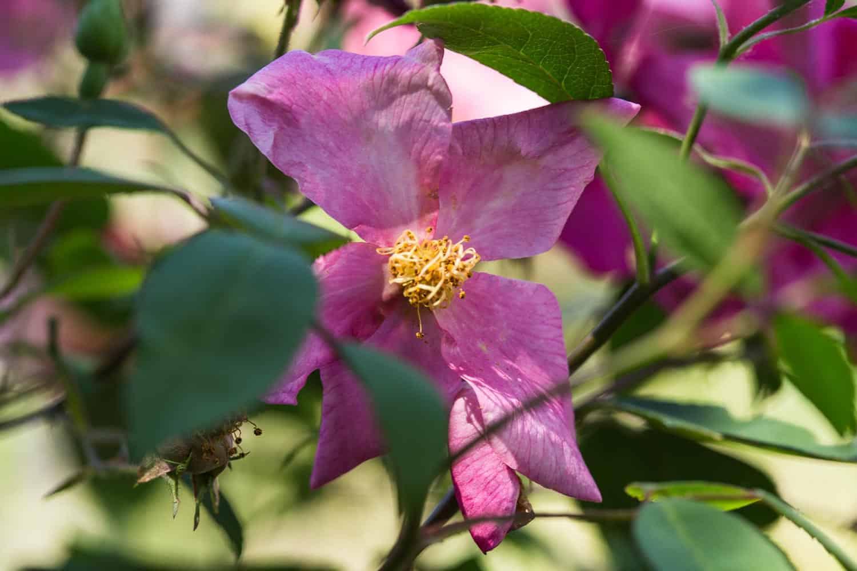 chinarose mutabilis mehrfarbige blüte
