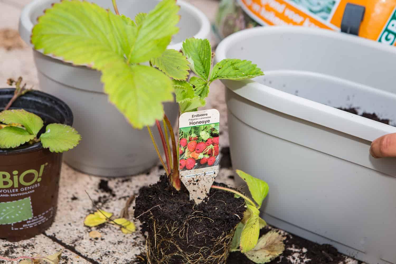 erdbeeren auf dem balkon anpflanzen