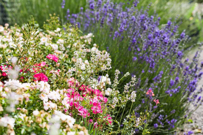 blumenportrait lavendel pflanzen schneiden pflegen. Black Bedroom Furniture Sets. Home Design Ideas