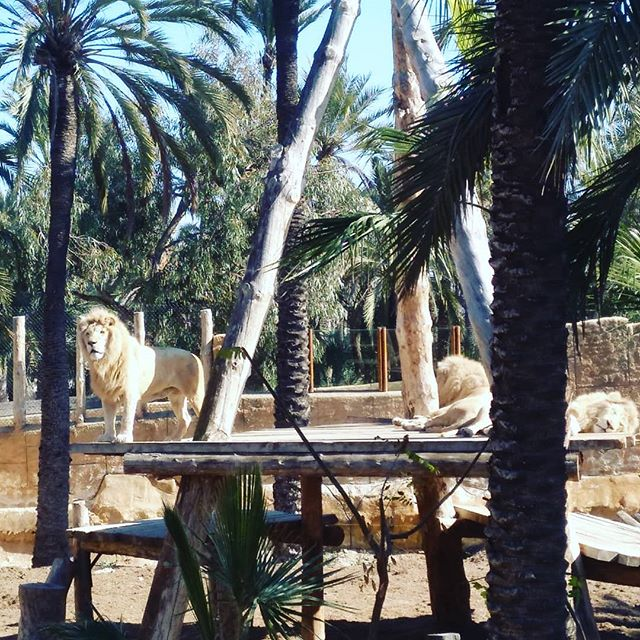 #lions #autohash #Spain #ComunidadValenciana #tree #outdoors #nature #travel #traveling #visiting #instatravel #instago #wood #mammal #park #daylight #summer #tourism #fence #animal #sky #landscape #old #outside #stone #flora - from Instagram