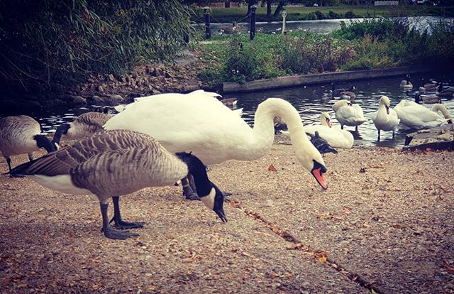 #autohash #UnitedKingdom #staines #England #bird #nature #water #feather #outdoors #swan #pool #animal #wildlife #lake #beak #park #goose #beautiful #wild #canadiangoose #grass #poultry - from Instagram